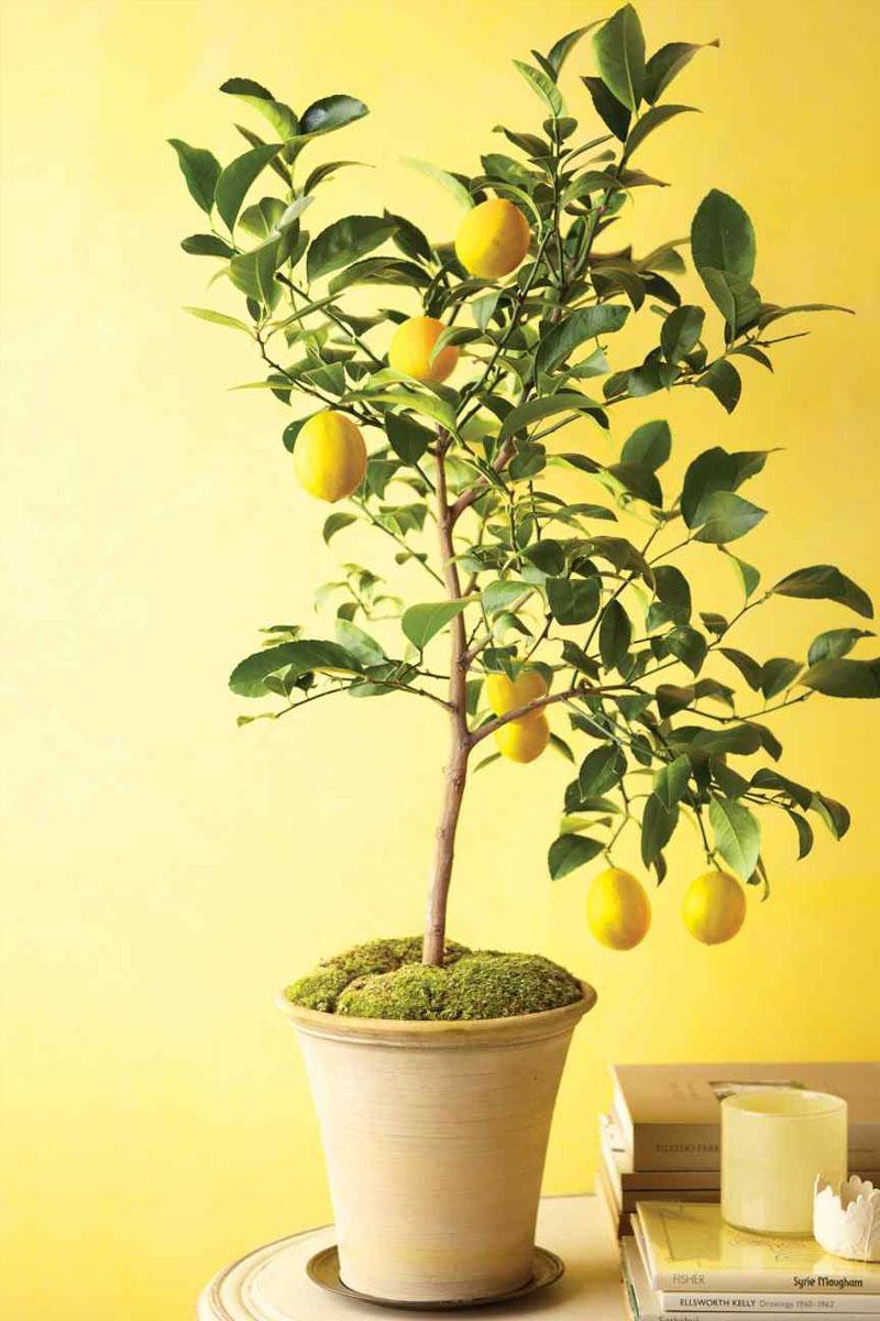Домашний лимон уход в домашних условиях фото 231