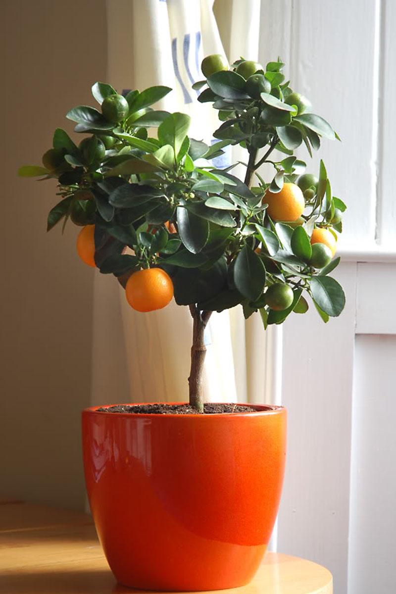 Мандаринового дерева в домашних условиях